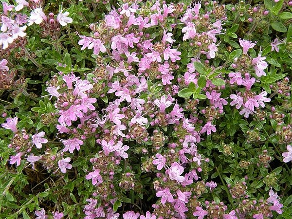 Thyme - a natural remedy, increase the potency
