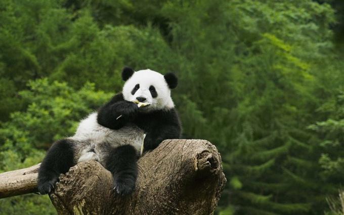 Сколько зубов у панды