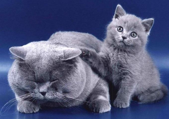 Сколько зубов у кошек