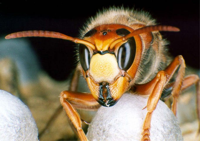 Шершни: хищники среди насекомых