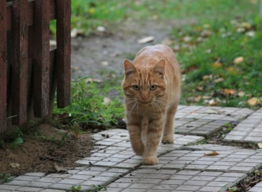 Стоит ли кастрировать деревенского кота