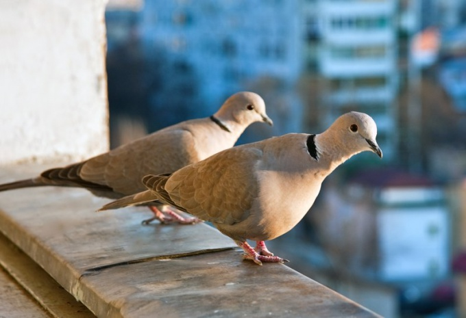 Pigeons sit on the balcony not in order to bring the bad news!