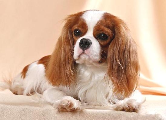 """Какая порода у собаки Йоко из фильма """"Елки 3"""""""