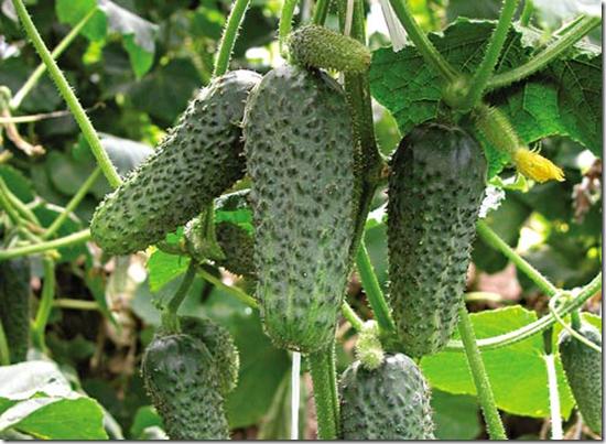 Урожай огурцов зависит от вас