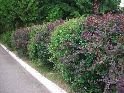 Как посадить живую изгородь на даче