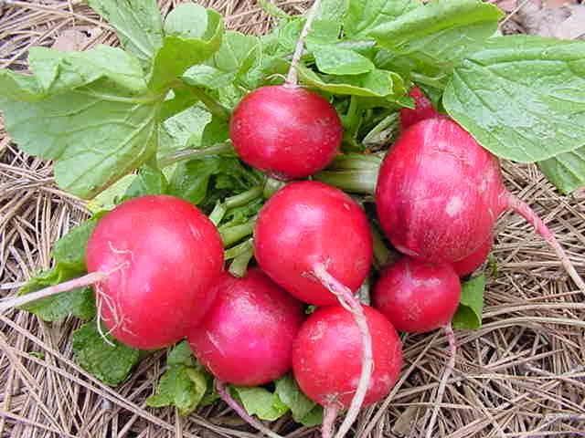 Как выращивать редис, чтобы он не уходил в цвет