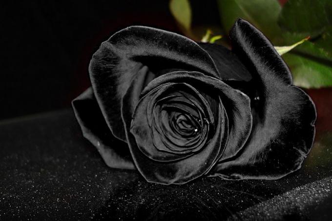 Есть ли черные розы