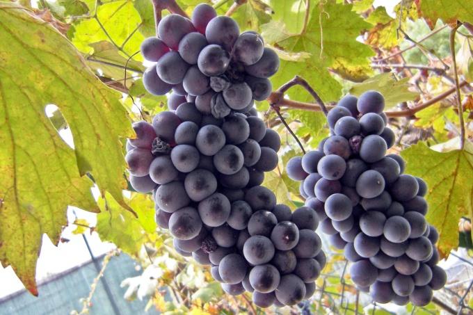 как правильно сделать вино из винограда изабелла в домашних условиях видео