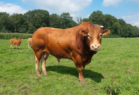 Особенности коров породы лимузин