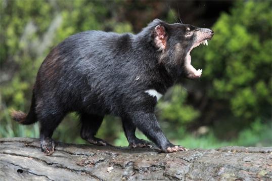Тасманский дьявол: некоторые особенности вида