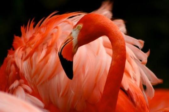 Фламинго: некоторые особенности вида