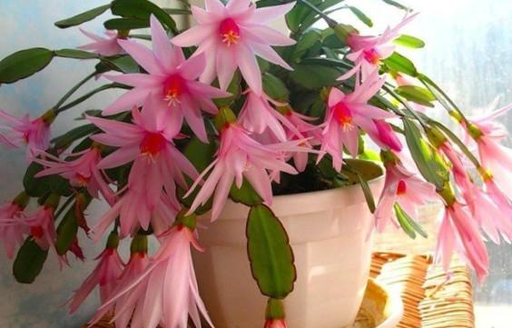 Что нужно «декабристу» для цветения
