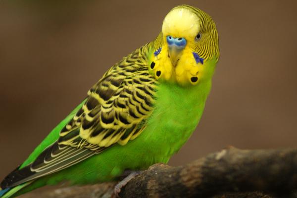 Учим говорить волнистого попугая