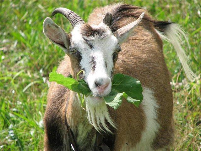 Что нас ждет в год Козы(Овцы)?