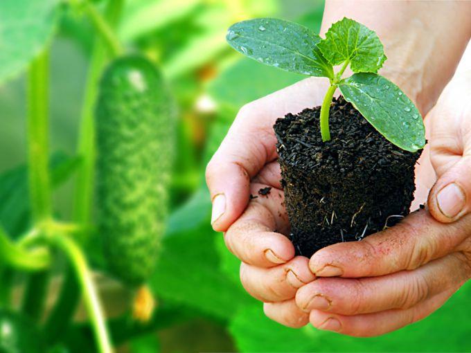 Рассада огурцов: как правильно вырастить овощ
