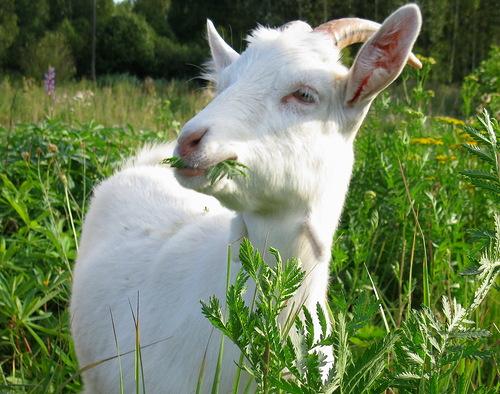Как встречать наступающий год Козы (Овцы)?