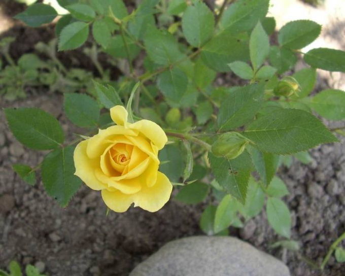 Подготовка комнатной розы к зиме