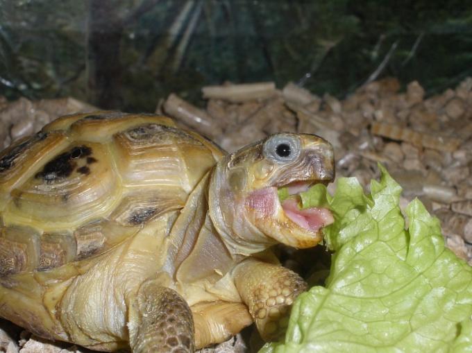 Чем нельзя кормить черепах