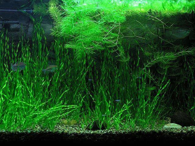 Аквариумные растения без грунта:  разведение