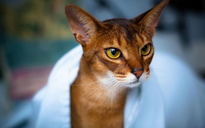 Породы кошек: абиссинская