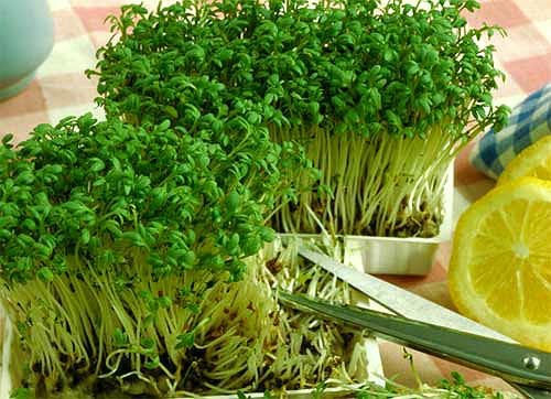 How to grow salad on windowsill in winter