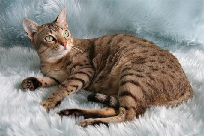 Породы кошек: австралийский мист