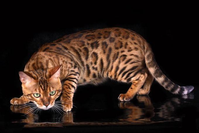 Породы кошек: бенгальская