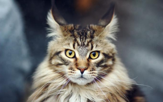 Породы кошек: мейн-кун