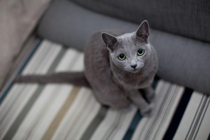 Породы кошек: русская голубая