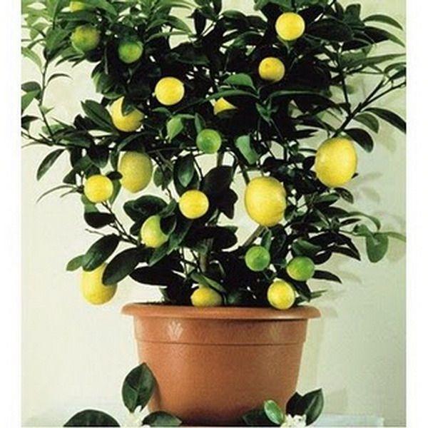 Домашний лимон - уход