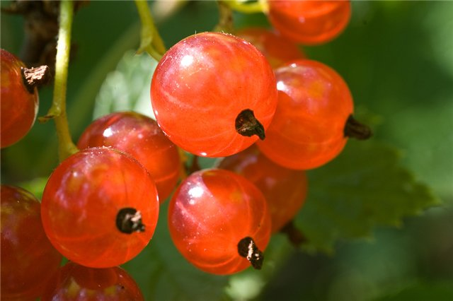The benefits and harms of red currant