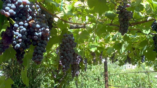 Основные правила выращивания винограда