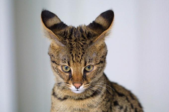 Породы кошек: саванна