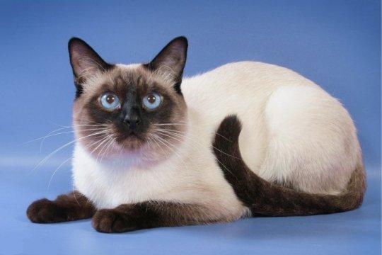 Породы кошек: тайская