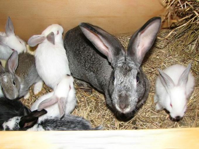 Уход за кроликами, болезни неинфекционного характера и их лечение