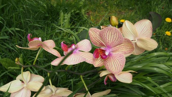 orhideya- luchyi-podarok- dlya-lyubimoy