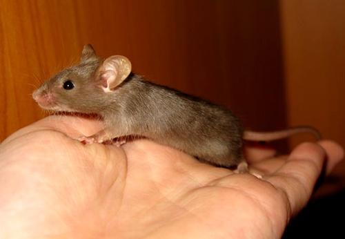 Все домашние мыши являются весьма трусливыми существами