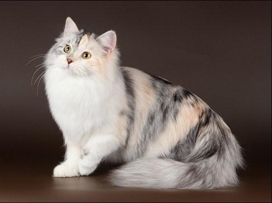 Породы кошек: сибирская
