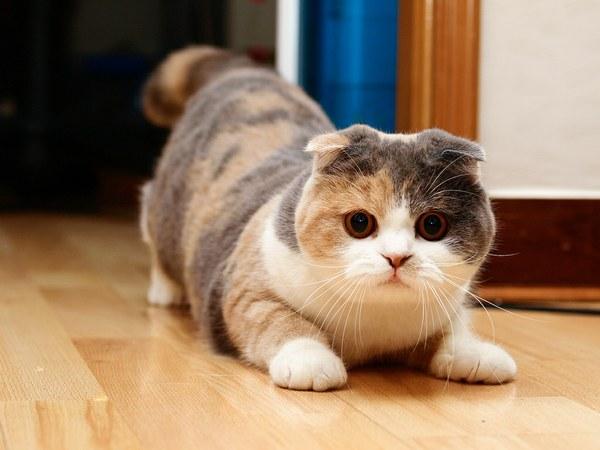 Породы кошек: скоттиш фолд