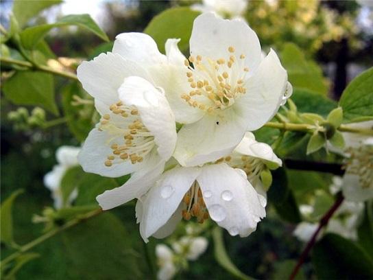 Особенности выращивания жасмина
