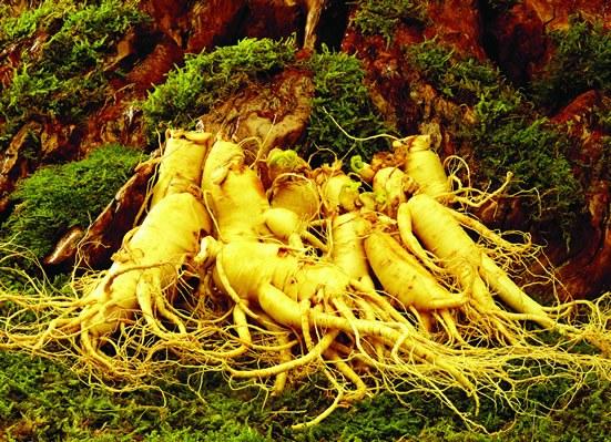 Женьшень - настоящий корень жизни, препараты из которого способствуют долголетию