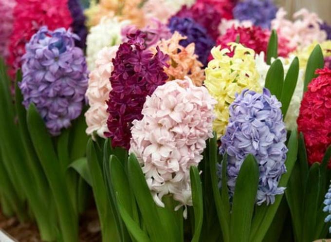 Цветущие гиацинты