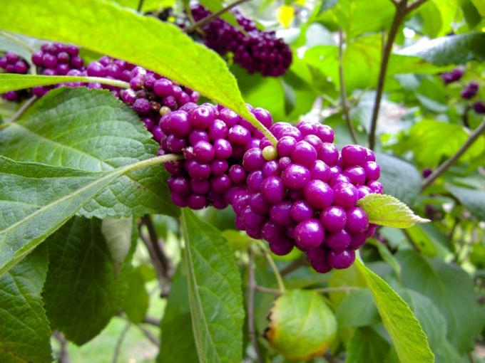Плоды калликарпы