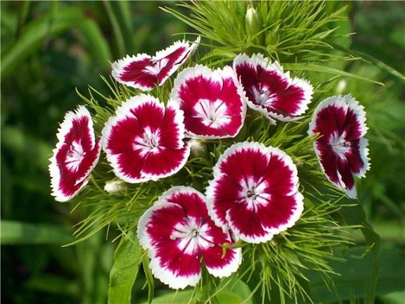 Как выращивать турецкую гвоздику
