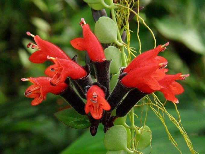Цветы эсхинантуса