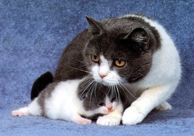 Как лечится мастит у кошек