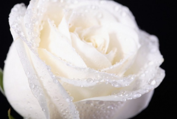 What Is The Meaning Of White Roses White Rose What Do You Mean