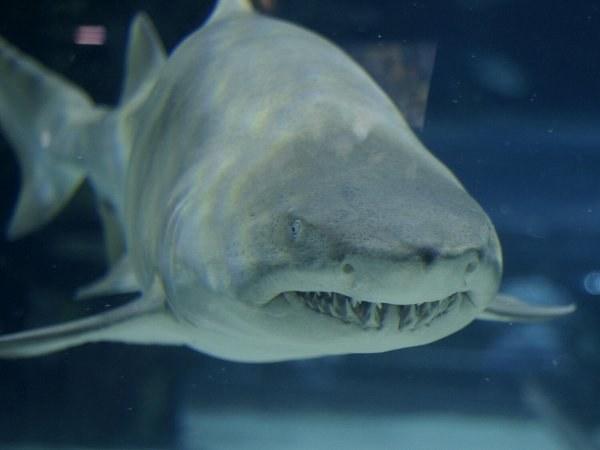 Акула - хищник из отряда хрящевых рыб