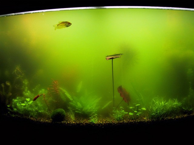 Why cloudy aquarium water the launch of the aquarium for Why is my fish tank water cloudy