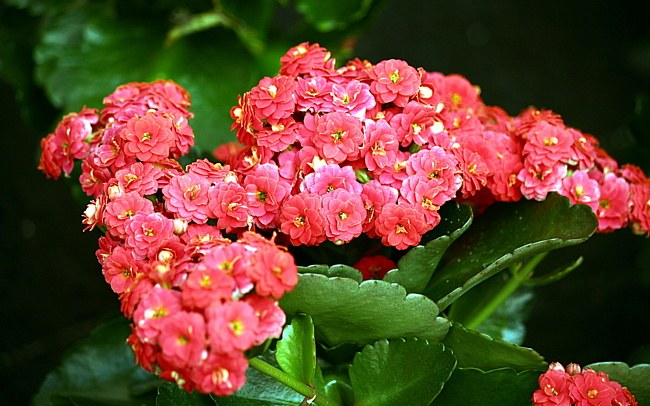 How to care for Kalanchoe, kalandiva